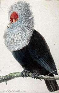 The Blue Pigeon (Alectroenas nitidis)
