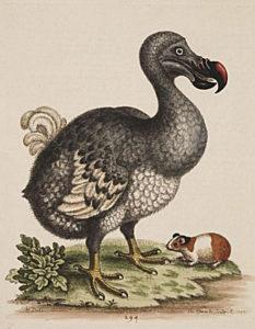 The Dodo (Raphus cucullatus)